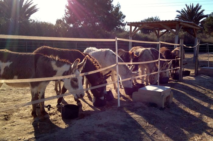 A herd of contented donkeys feeding at the Easy Horse Care Rescue Centre in Spain.