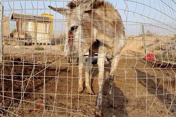A neglected donkey saved by the Easy Horse Care Rescue Centre in Spain.