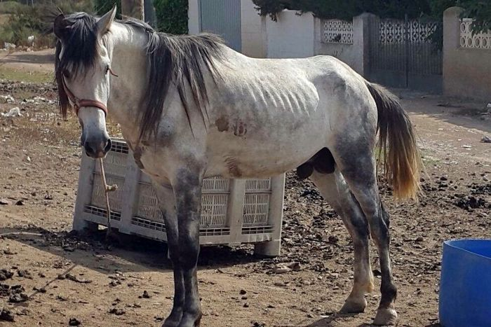 A starving horse rescued by the Easy Horse Care Rescue Centre in Spain.