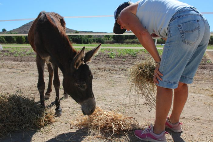 Sue Weeding feeding a rescued donkey at the Easy Horse Care Rescue Centre in Spain.