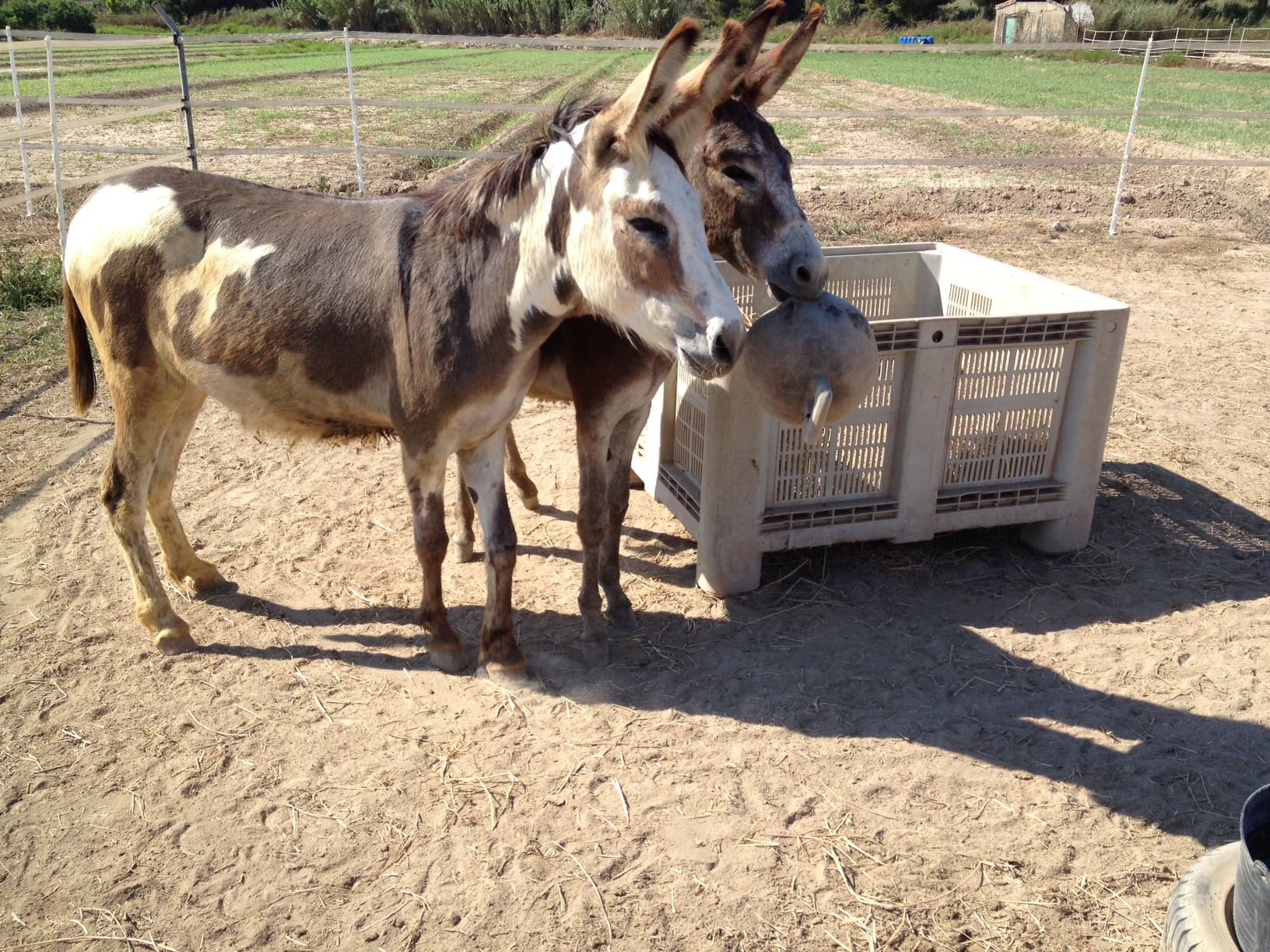 Donkey Oaty and Sancho Panza in August 2013