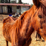 Malnourished horse Valencia March 2017
