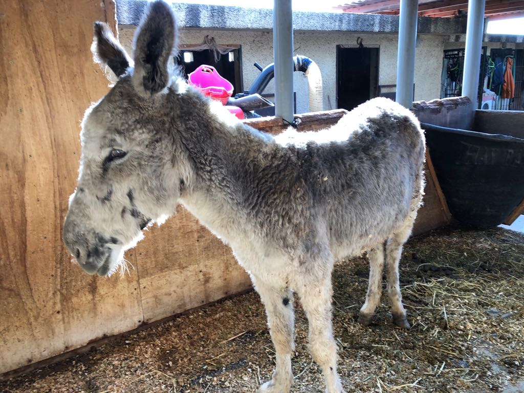 Donkey rescued Jan 26 2017 1