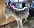 Donkey rescued Jan 26 2017 1